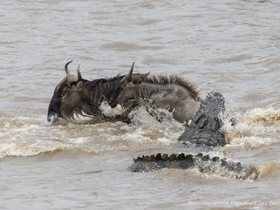 river crossing, wildebeest, mara river, photo safari, photographic safari, wildlife photographic safari, photo tour, photo workshop, when to go, best, fivezero safaris, five zero, safari, kurt jay bertels, kenya, masai mara, crocodile, kill