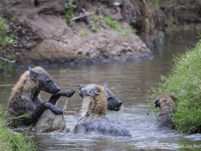 spotted hyena, playing fun, hyena, water, photo safari, photographic safari, wildlife photographic safari, photo tour, photo workshop, when to go, best, fivezero safaris, five zero, safari, kurt jay bertels, kenya, masai mara, great migration,