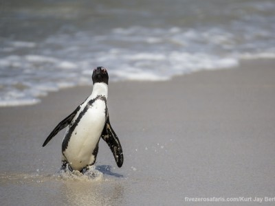 photo safari, photographic safari, wildlife photographic safari, photo tour, photo workshop, when to go, best, fivezero safaris, five zero, safari, kurt jay bertels, south africa, cape town, african penguin, jackass penguin