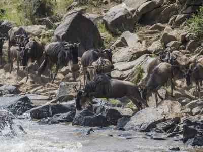 jumping, wildebeest, mara river, photo safari, photographic safari, wildlife photographic safari, photo tour, photo workshop, when to go, best, fivezero safaris, five zero, safari, kurt jay bertels, kenya, masai mara, great migration,