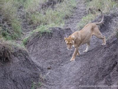 lion, lioness, photo safari, photographic safari, wildlife photographic safari, photo tour, photo workshop, when to go, best, fivezero safaris, five zero, safari, kurt jay bertels, kenya, masai mara, great migration,