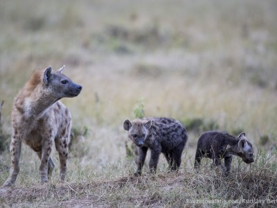 photo safari, photographic safari, wildlife photographic safari, photo tour, photo workshop, when to go, best, fivezero safaris, five zero, safari, kurt jay bertels, kenya, masai mara, great migration, hyena, spotted hyena, baby, young, cub, pup