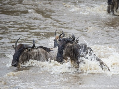 river crossing, wildebeest, mara river, photo safari, photographic safari, wildlife photographic safari, photo tour, photo workshop, when to go, best, fivezero safaris, five zero, safari, kurt jay bertels, kenya, masai mara,