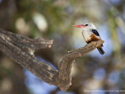 photo safari, photographic safari, wildlife photographic safari, photo tour, photo workshop, when to go, best, fivezero safaris, five zero, safari, kurt jay bertels, kenya, samburu, grey hooded kingfisher