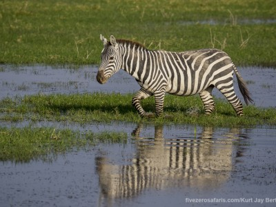 elephants, photo safari, photographic safari, wildlife photographic safari, photo tour, photo workshop, when to go, best, fivezero safaris, five zero, safari, kurt jay bertels, kenya, amboseli, amboseli national park, zebra