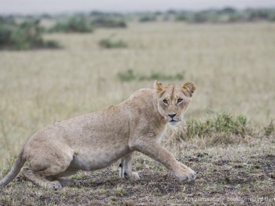 lioness, lion, photo safari, photographic safari, wildlife photographic safari, photo tour, photo workshop, when to go, best, fivezero safaris, five zero, safari, kurt jay bertels, kenya, masai mara,