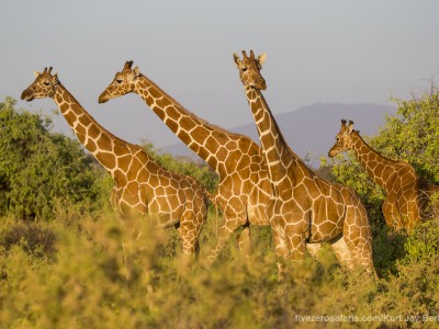 photo safari, photographic safari, wildlife photographic safari, photo tour, photo workshop, when to go, best, fivezero safaris, five zero, safari, kurt jay bertels, kenya, samburu, reticulated giraffe
