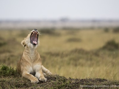 lioness, lion, yawning, photo safari, photographic safari, wildlife photographic safari, photo tour, photo workshop, when to go, best, fivezero safaris, five zero, safari, kurt jay bertels, kenya, masai mara,