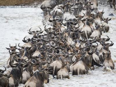 wildebeest, river crossing, photo safari, photographic safari, wildlife photographic safari, photo tour, photo workshop, when to go, best, fivezero safaris, five zero, safari, kurt jay bertels, kenya, masai mara, great migration,