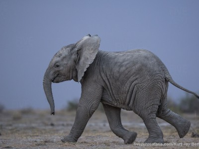 elephants, photo safari, photographic safari, wildlife photographic safari, photo tour, photo workshop, when to go, best, fivezero safaris, five zero, safari, kurt jay bertels, kenya, amboseli, amboseli national park