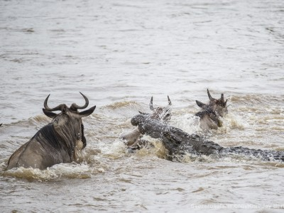 crocodile kill, croc kill, wildebeest, photo safari, photographic safari, wildlife photographic safari, photo tour, photo workshop, when to go, best, fivezero safaris, five zero, safari, kurt jay bertels, kenya, masai mara, great migration,