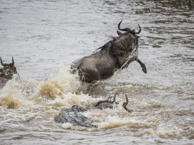 croc kill, wildebeest, mara river, photo safari, photographic safari, wildlife photographic safari, photo tour, photo workshop, when to go, best, fivezero safaris, five zero, safari, kurt jay bertels, kenya, masai mara, great migration,