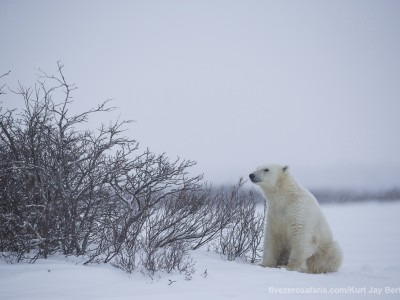 photo safari, photographic safari, wildlife photographic safari, photo tour, photo workshop, when to go, best, fivezero safaris, five zero, safari, kurt jay bertels, canada, churchill, polar bear,