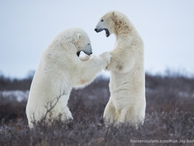 photo safari, photographic safari, wildlife photographic safari, photo tour, photo workshop, when to go, best, fivezero safaris, five zero, safari, kurt jay bertels, canada, churchill, polar bear, fighting, dancing, sparring