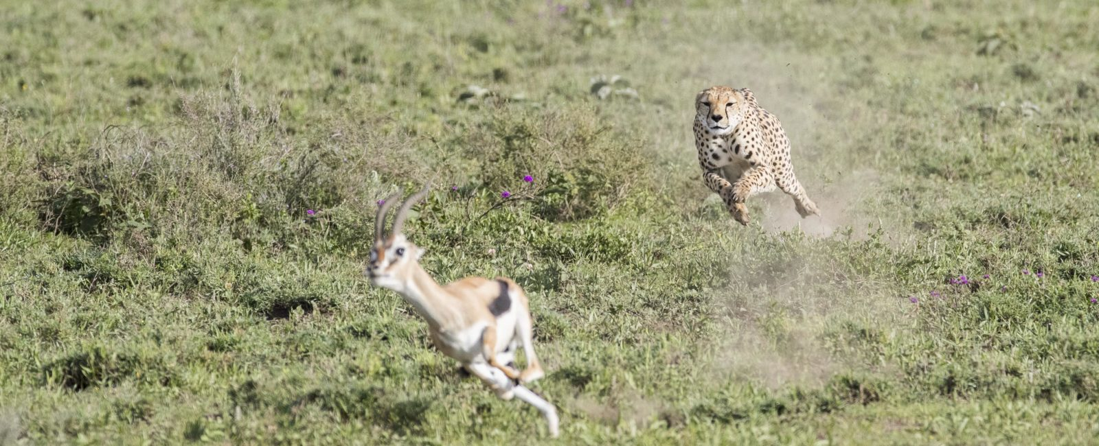 Cheetah, chase, hunting, running, full speed, safari, tanzania