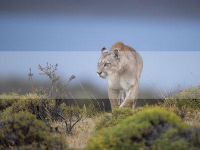 Permalink to The Puma Safari in Chile
