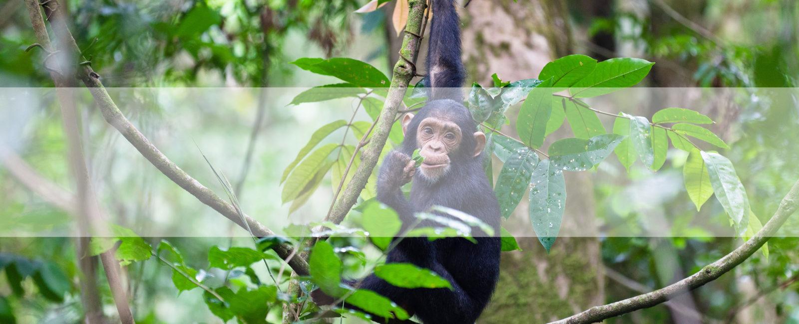 Chimp safari, chimpanzee safari, safari, Tanzania, FiveZero Safaris