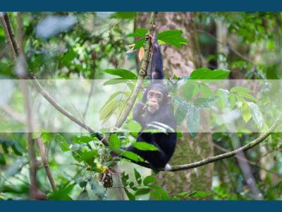 Permalink to The Chimpanzee Safari in Tanzania