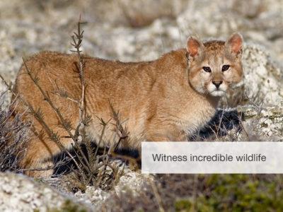 Puma Safari, Chile, FiveZero Safaris