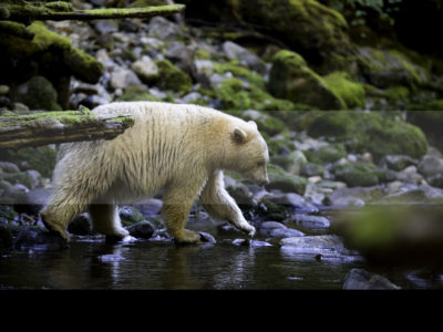 Permalink to The Spirit Bears Safari in Canada