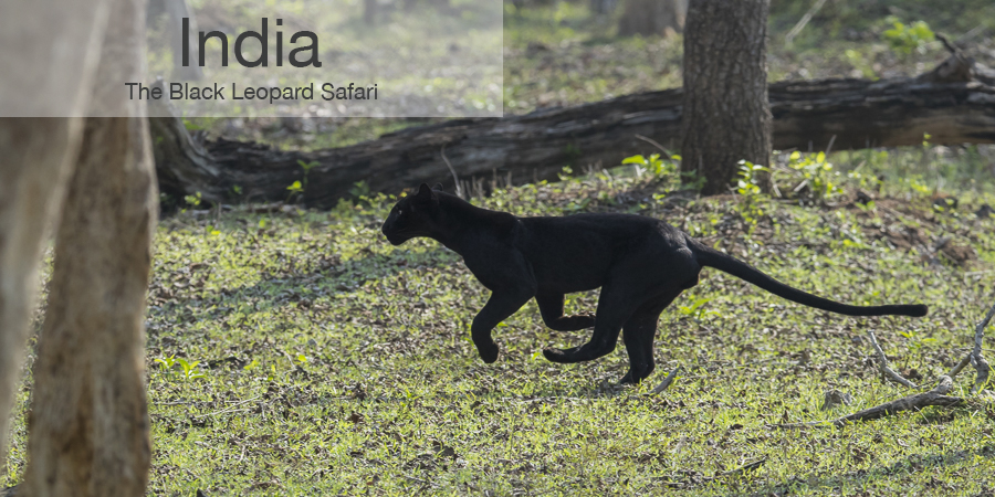 FiveZero Safaris, safari, India, black leopard, panther