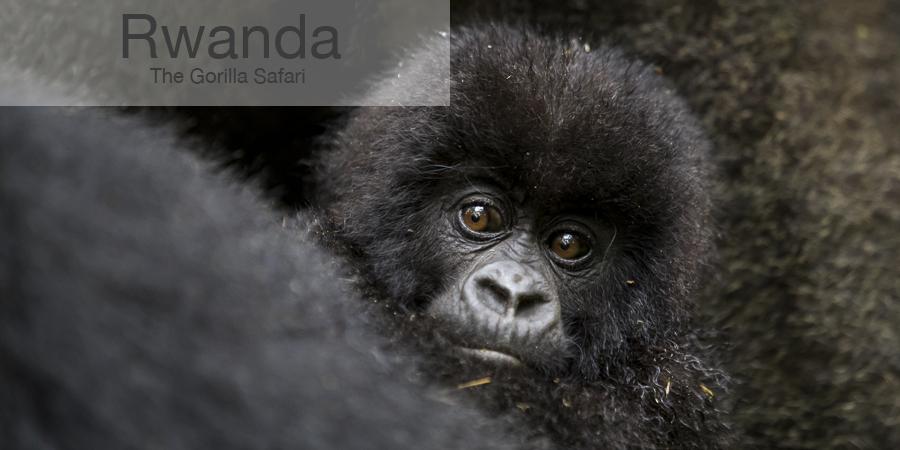 FiveZero Safaris, safari, africa, rwanda, gorilla, baby
