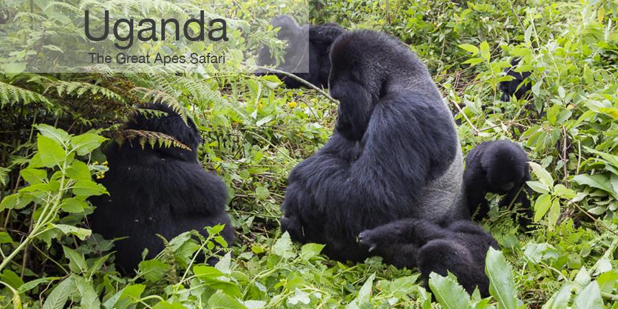 FiveZero Safaris, safari, africa, uganda, gorilla, chimpanzee