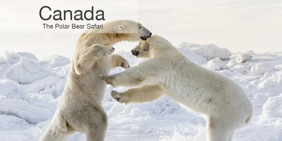 FiveZero Safaris, safari, Canada, polar bears