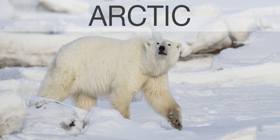 FiveZero Safaris, Polar bear, Arctic Safari