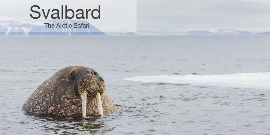 FiveZero Safaris, safari, Svalbard,walrus