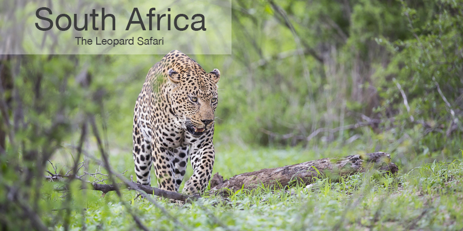 FiveZero Safaris, safari, africa, South Africa, leopard