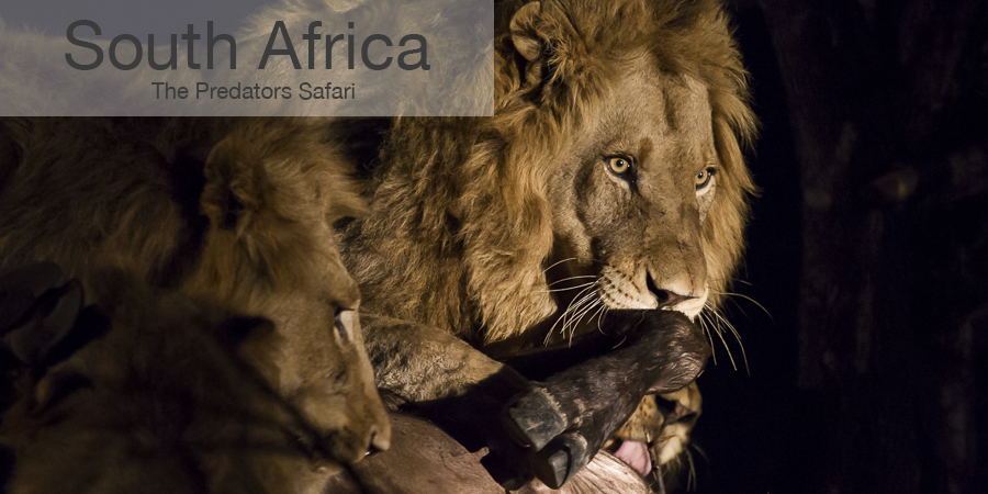 FiveZero Safaris, safari, africa, South Africa, lion kill