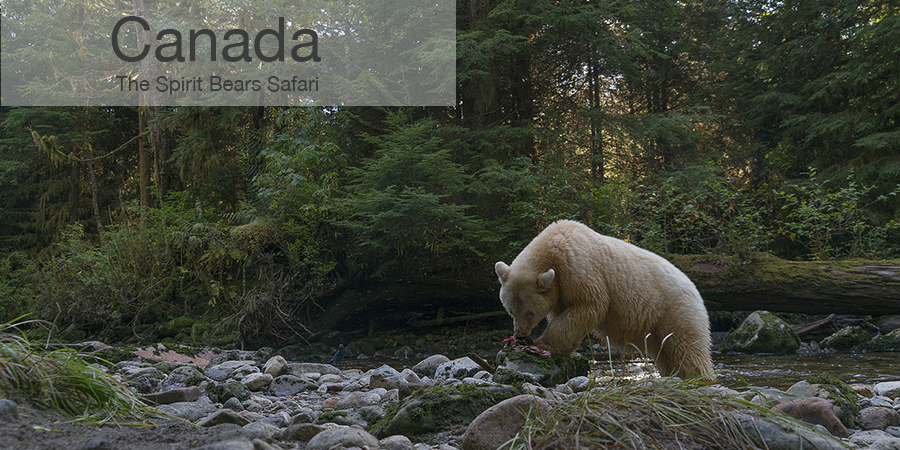 FiveZero Safaris, safari, Canada, spirit bears