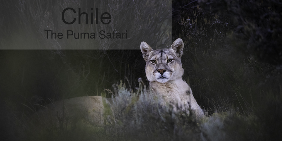 FiveZero Safaris, safari, Chile, puma, mountain lion