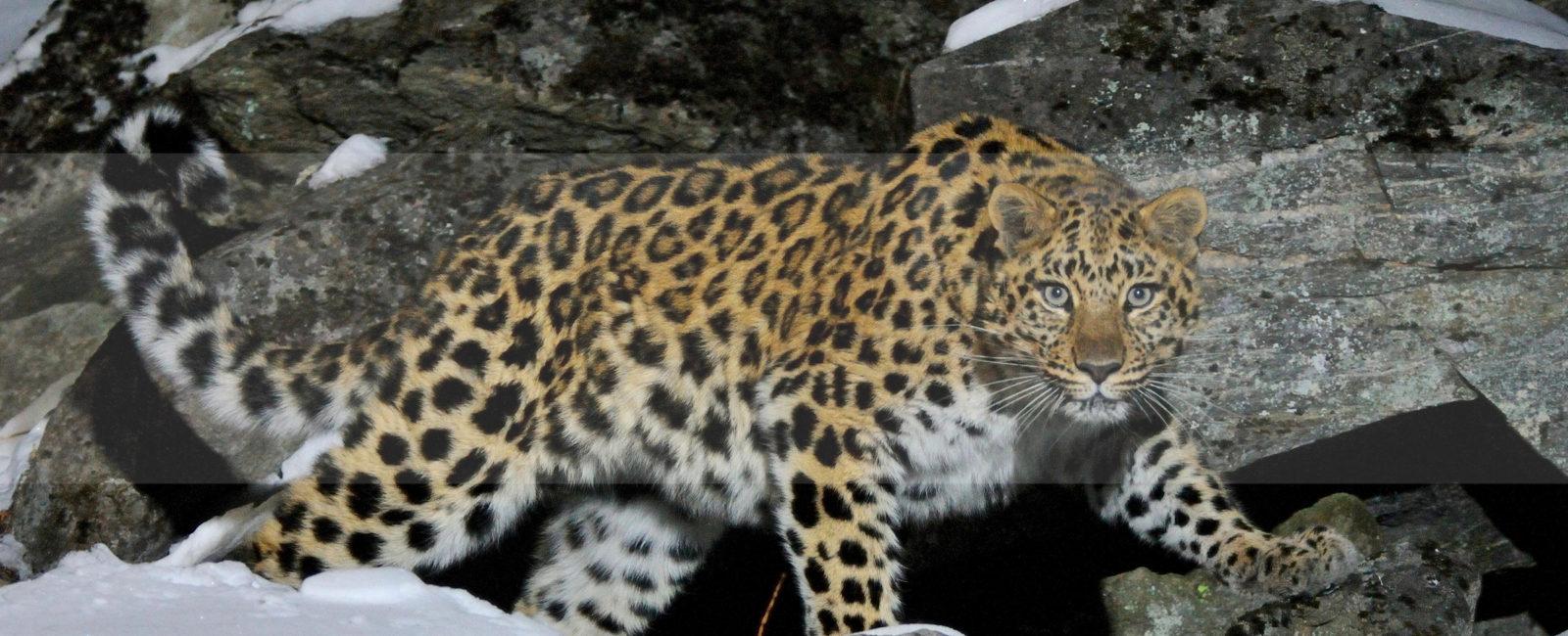 FiveZero Safaris, Amur Leopard