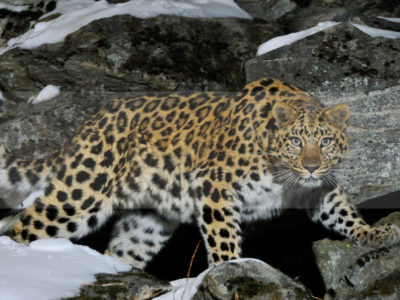 Permalink to The Amur Leopard Safari in Russia
