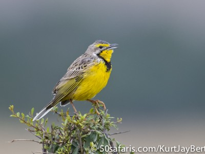 Calling Yellow Throated Longclaw