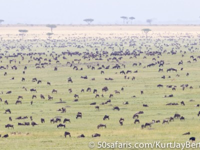 Thousands of wildebeest on the border