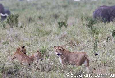 Lions and elephants