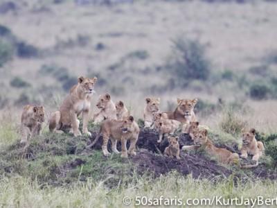 The massive pride of lions