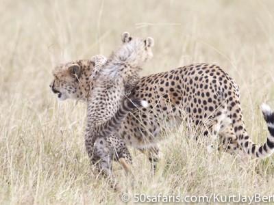 A patient cheetah mother