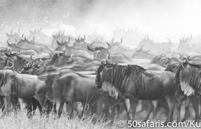 The herd builds
