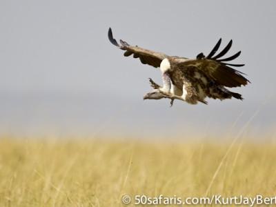 'Landing gear down' - descending vulture