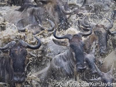 Rushing wildebeest