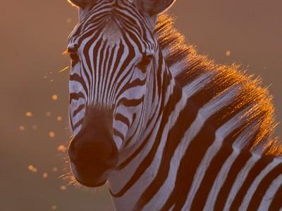Backlit zebra