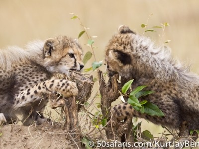The cheetah cubs get stuck in