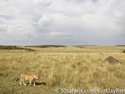 Stormy lioness