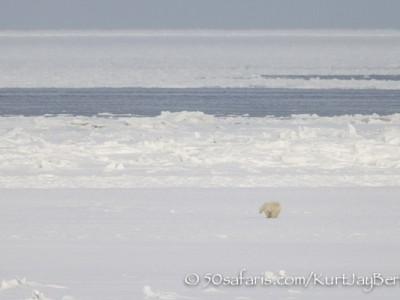 Polar Bear, ice bear, safari, photo safari, photographic safari, photo tour, wildlife photographic safari, canada, churchill, exclusive, kurt jay bertels, polar bear safari, 50 safaris, 50 photographic safaris, northern lights, aurora borealis, forest, tundra, hunt, hunting seals, seal, breathing hole