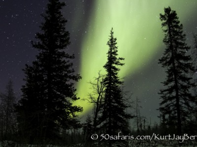 Polar Bear, ice bear, safari, photo safari, photographic safari, photo tour, wildlife photographic safari, canada, churchill, exclusive, kurt jay bertels, polar bear safari, 50 safaris, 50 photographic safaris, northern lights, aurora borealis, forest, tundra