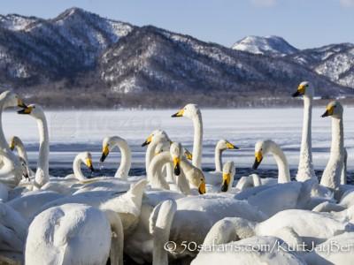 Japan, winter, wildlife, safari, photo safari, photo tour, photographic safari, photographic tour, photo workshop, wildlife photography, 50 safaris, 50 photographic safaris, kurt jay bertels, whooper swans, feeding, fighting, scenic